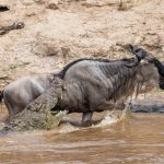 The wildebeest migration in Masai Mara